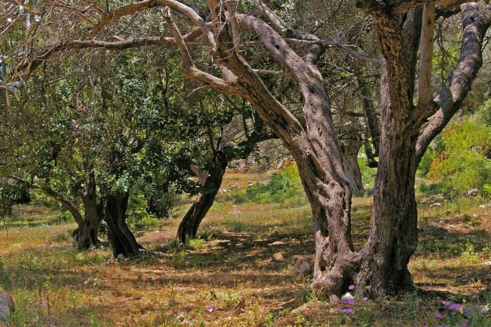 Working on an olive farm in Greece with WWOOF - Free Candie