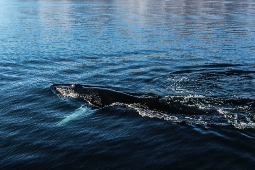 Humpbacks in Iceland
