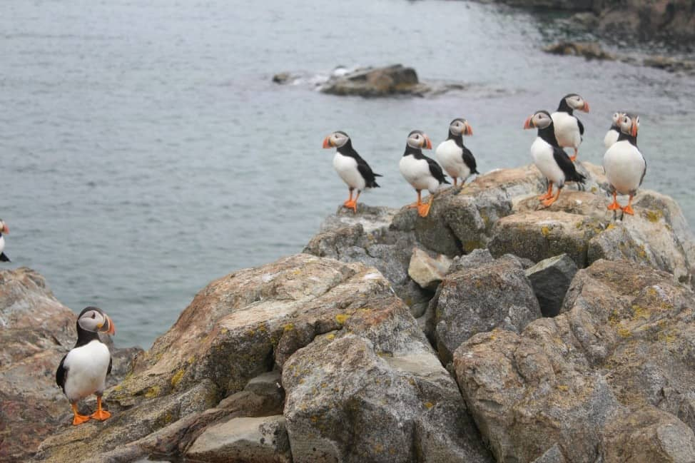 Newfoundland puffins at Witless Bay Ecological Reserve