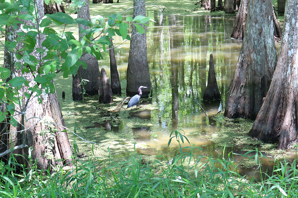 Birds in a swamp in Louisiana